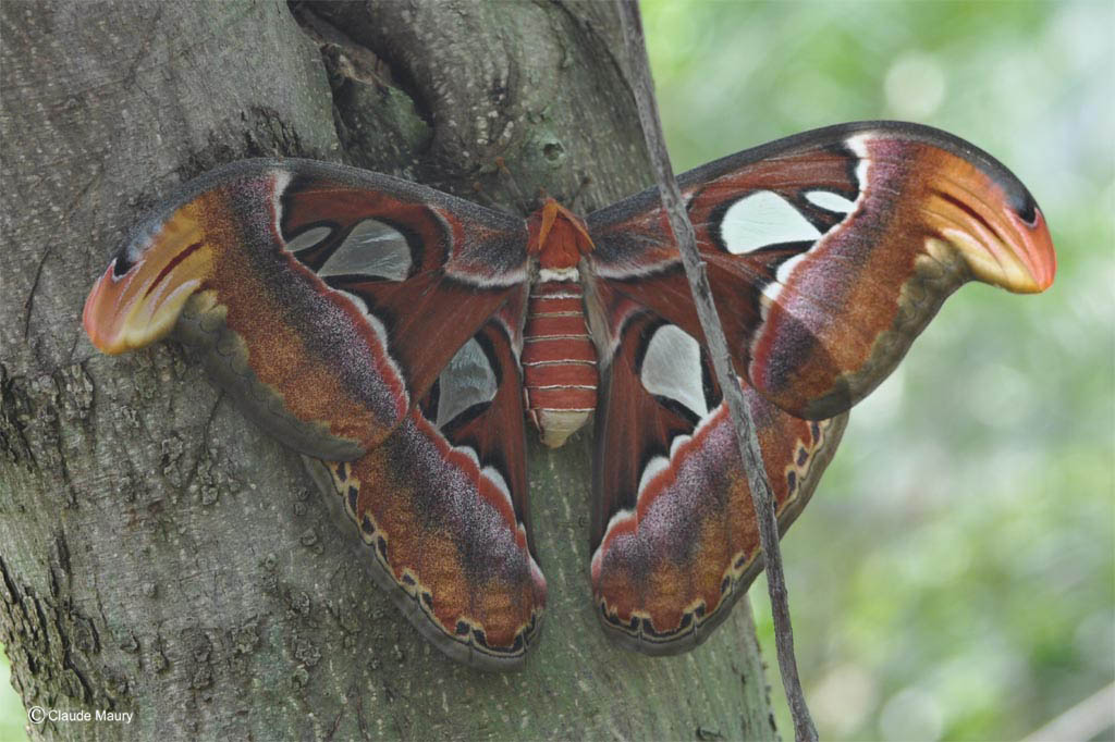 Atlas - attacus atlas